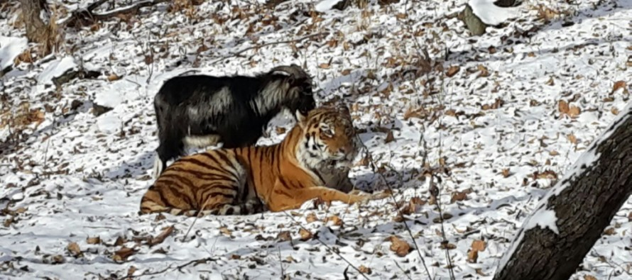 VIDEO: How long can this Tiger & Goat's zoo friendship last?