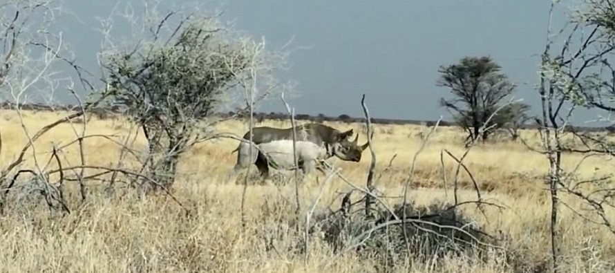 VIDEO: Rhino Charges Safari Truck… Then THIS Happens