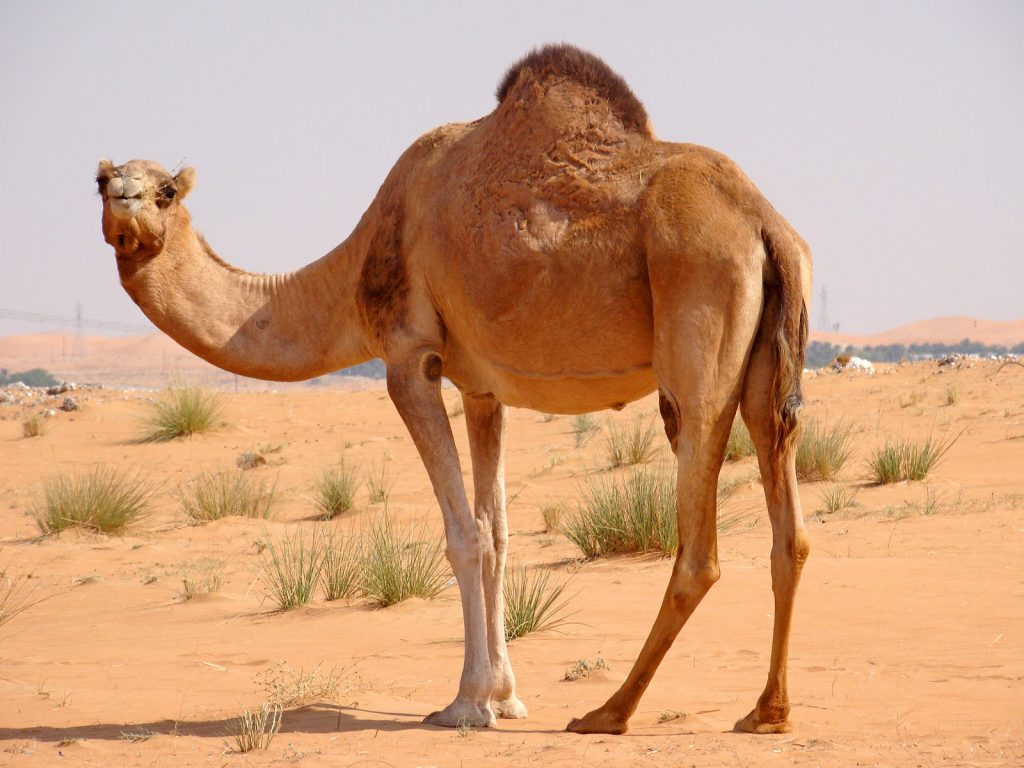 Beautiful-Camel-Animal-Wallpapers