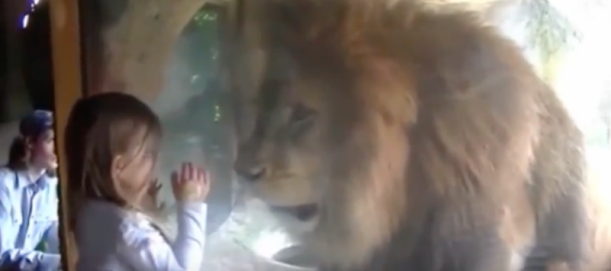 Little Girl Blows Lion Kiss at the Zoo — But Didn't Expect This Reaction