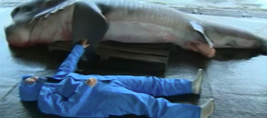 One Whopper Of A Fish Story: Fishermen Snag Mega-Rare 'Megamouth' Shark [VIDEO]