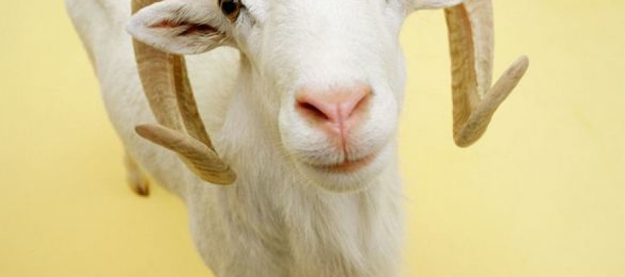 Muslim Man Caught Doing the Unthinkable With a Goat…