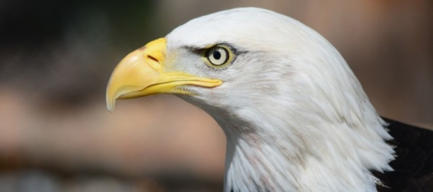 Obama Admin. gives thumbs up to kill Bald Eagles for 30 years