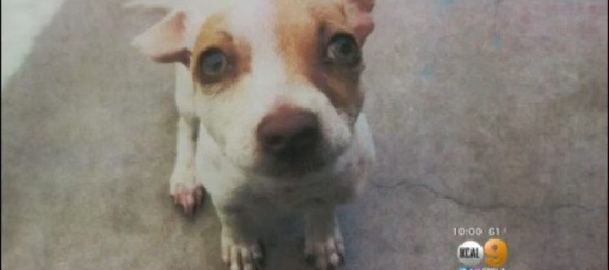 Abused Puppy Shockingly Tested Positive for Drugs!