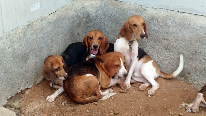 BEAGLE RESCUE AND RELEASE