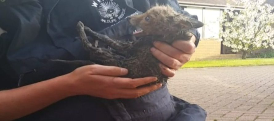 VIDEO: A Sad & Desperate Momma Fox Watched Closely As Her Baby Was Stuck in a Drainpipe, Then…..