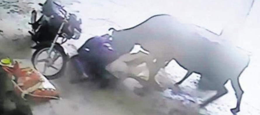 VIDEO: Two Muslims Were About to Murder a Woman In An Honor Killing Until… A COW ATTACKED?