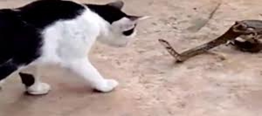VIDEO: Snake gets into a fight with a cat… while being eaten alive by a toad