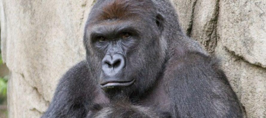 Shocking New Details Revealed in Gorilla Shooting Story…