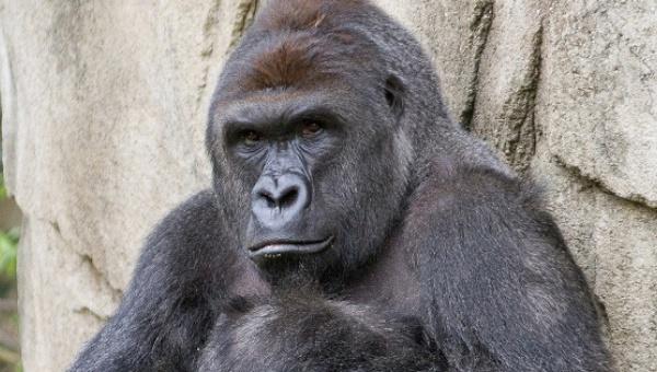 harambe_gorilla.jpg_1718483346