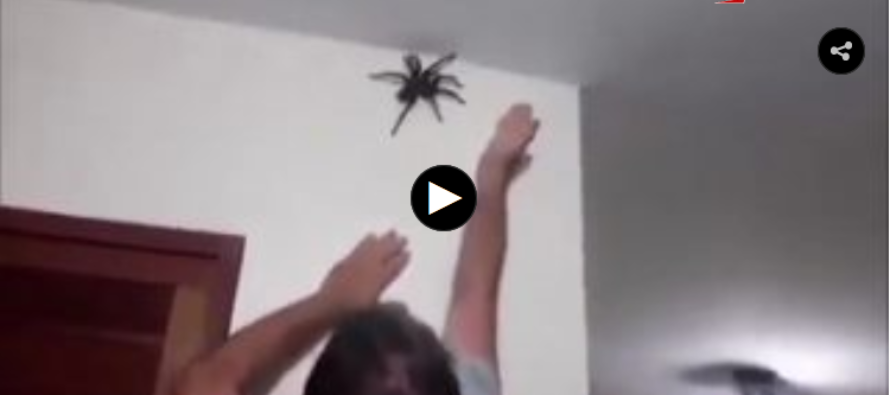 VIDEO: Man catches MASSIVE SPIDER with his BARE HANDS