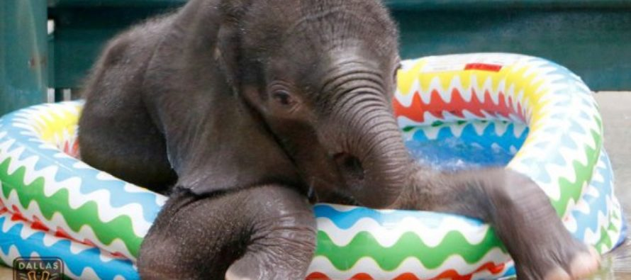 VIDEO: Baby Elephant Enjoys His First Pool Experience