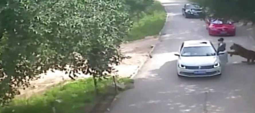 Woman Exited Car During a Safari Ride, That Was the Last Breath She Took [VIDEO]