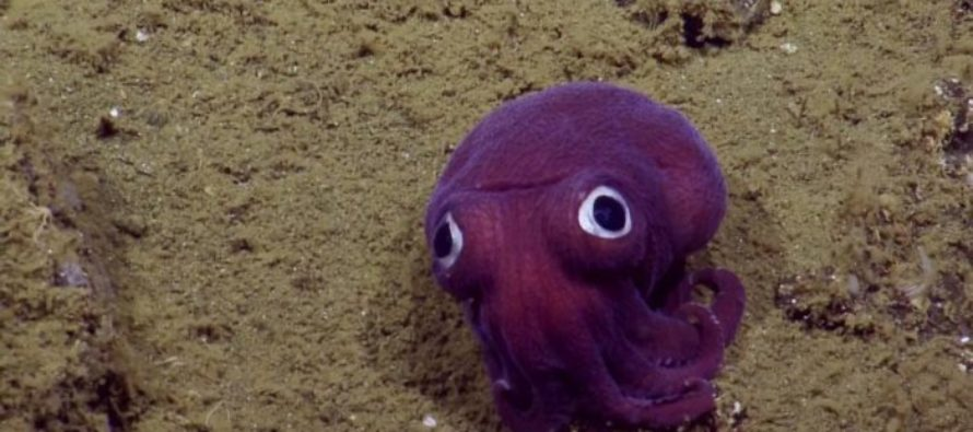 VIDEO: The Internet is Going Crazy Over This Googly-Eyed Octopus Found Deep Under the Sea
