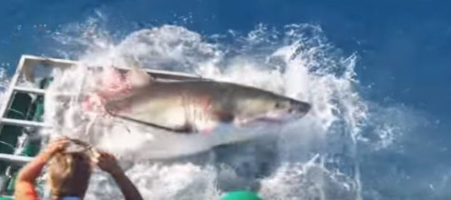 Intense VIDEO Shows GREAT WHITE SHARK Crashing through DIVER'S CAGE, With Diver In It! He Scrambles!