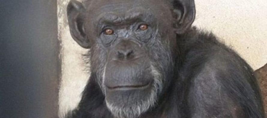 Argentine Judge Grants Chimpanzee Nonhuman Rights