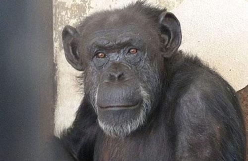 Cecilia-the-chimpanzee