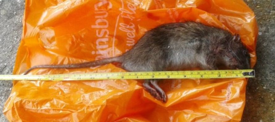 Rats the SIZE OF CATS are being captured