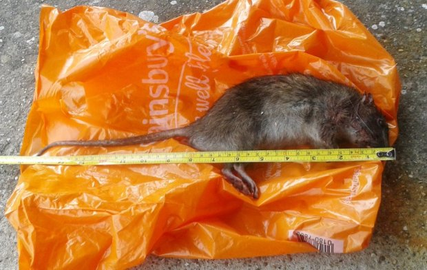 Collect picture showing a massive rat that was caught in a back garden. Gravesend, Kent.  See NATIONAL story NNRAT.  Residents are living in terror after an entire row of terraced houses was overrun by giant mutant rats - the size of cats.  More than a dozen homes have been plagued by the massive, foot-long rodents which have been scurrying through gardens and through the adjoined lofts of the terraced properties.  Mum-of-three Melissa Gillingham is terrified that the huge beasts, which are known to spread disease, may bite her young children.  The huge rats' sudden appearance are believed to have been caused by a mains water supply leak in the road, in Northfleet, Kent.