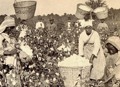 slaves-harvesting-cotton