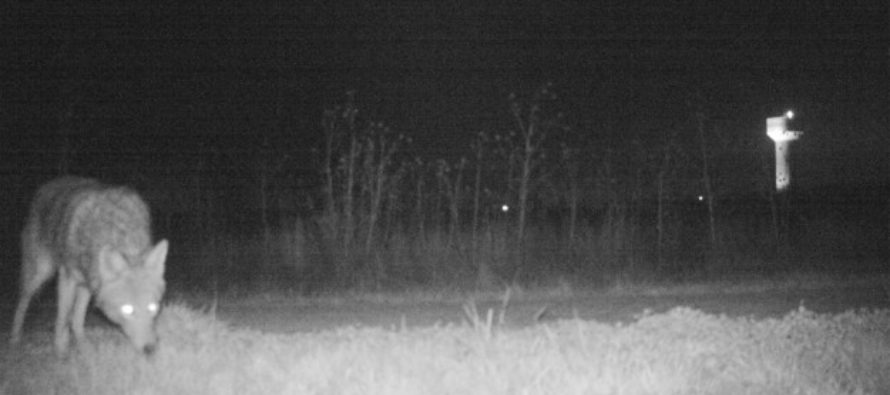 Police Set Up A Camera In Kansas To Find A Mountain Lion & WTH Is Happening? [VIDEO]