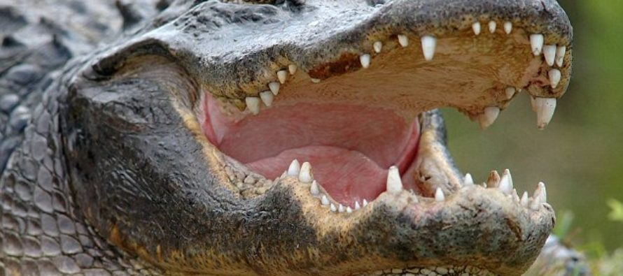 VIDEO: Watch a crocodile bite face of a circus trainer who put his head inside the animal's mouth