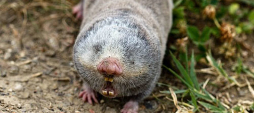 Why Hungary Must Not Defend Its Border From Islamic Invasion: The Vojvodina Blind Mole Rat