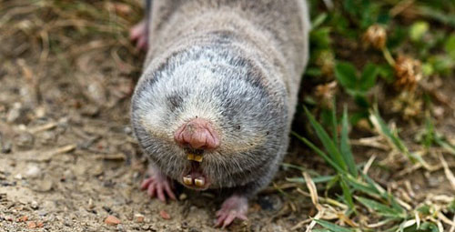 Vojvodina-blind-mole-rat