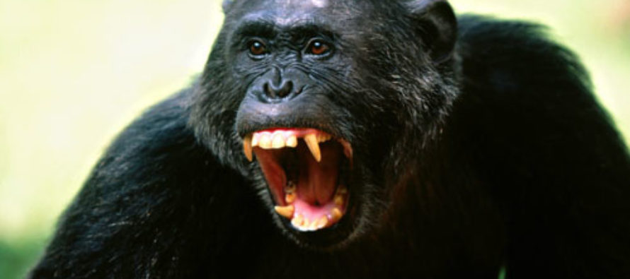 Lawyers Push to Establish Personhood Rights for Chimpanzees