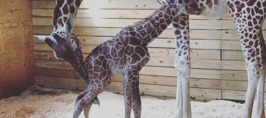 VIDEO: April the Giraffe finally has baby, then does hilarious thing to vet who walks by