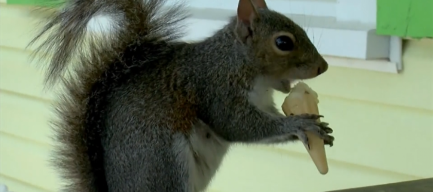VIDEO: Squirrel visits ice cream shop every day for a tiny cone