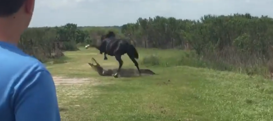 Horse Vs Alligator – You'll Never Guess Which One SHOCKED Onlookers Were Rooting For [VIDEO]