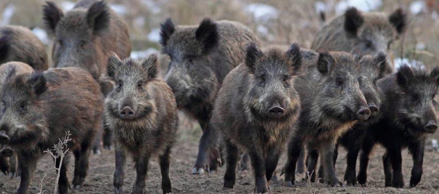 Wild Pigs Kill Three ISIS Members In Raid