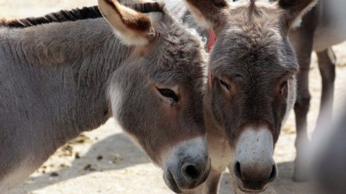 Seriously SICK Man Found Having 'Relations' With Donkey- Now Owner Demands 'Shot-Gun' Wedding?!