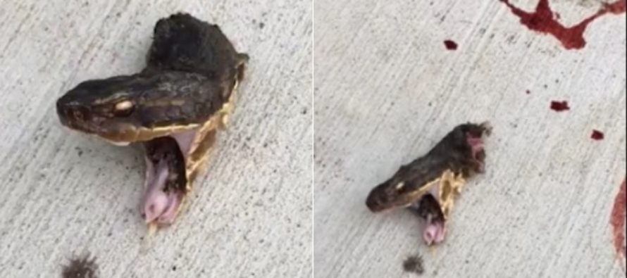 VIDEO Texas Girl Decapitates Venomous Snake While It KEEPS TRYING TO BITE HER!