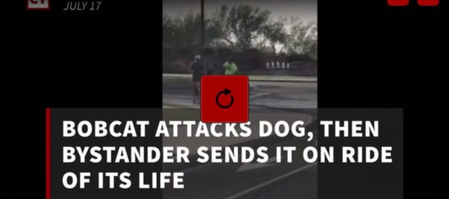 Good Samaritan Exits Rolling Vehicle To Help Dog Under Attack By Bobcat! [VIDEO]