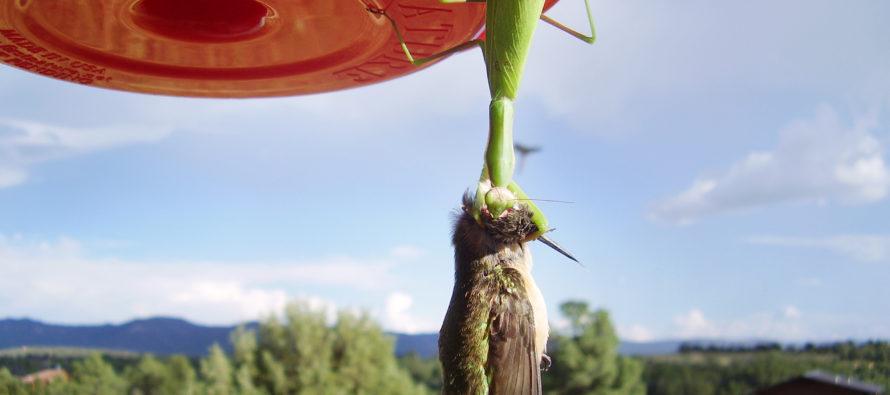 Worldwide Phenomenon: Praying Mantises Are Killing Birds To Eat Their Brains [PICTURES]