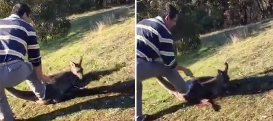 Man Slashes Kangaroo's Throat 18 Times As Laughing Friend Films Cowardly Attack! [VIDEO]