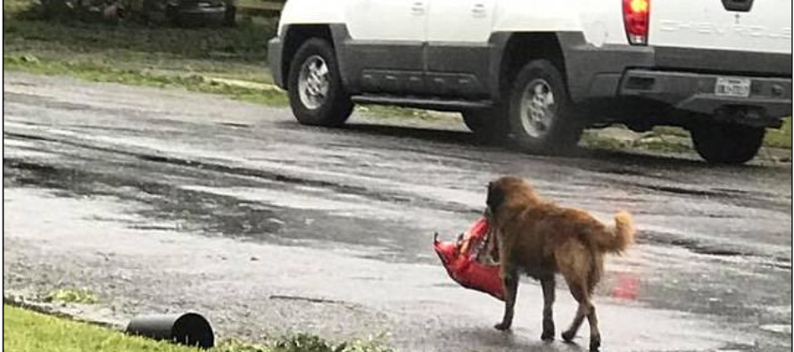 Dog's Picture Carrying His Dog Food The Morning After Hurricane Harvey Goes Viral