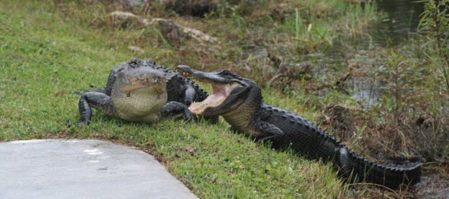 TROUBLE: Hurricane Harvey Might Unleash 350 Alligators On Texas