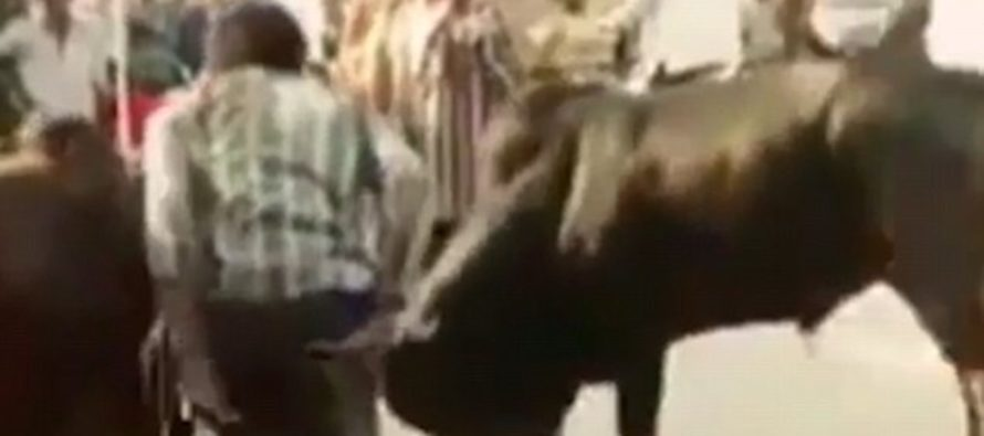 VIDEO: Drunk Man Tries to Break-Up A Fight Between Two Bulls. It Doesn't End Well