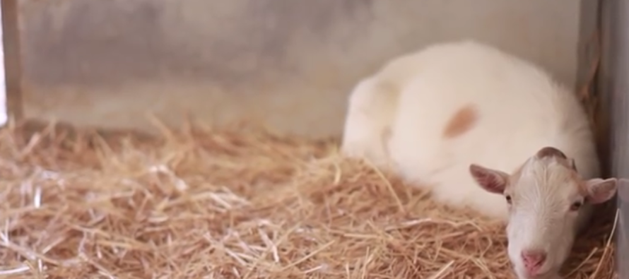 VIDEO: Goat Lifeless, Refusing to Eat. Then Rescuers Find out Why He's Heartbroken