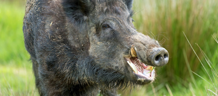 Sweden Has a Problem with Packs of RADIOACTIVE WILD BOAR — Yes, Really [VIDEO]