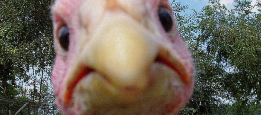 Say, Could Turkey Poop Help Stop 'Climate Change'?