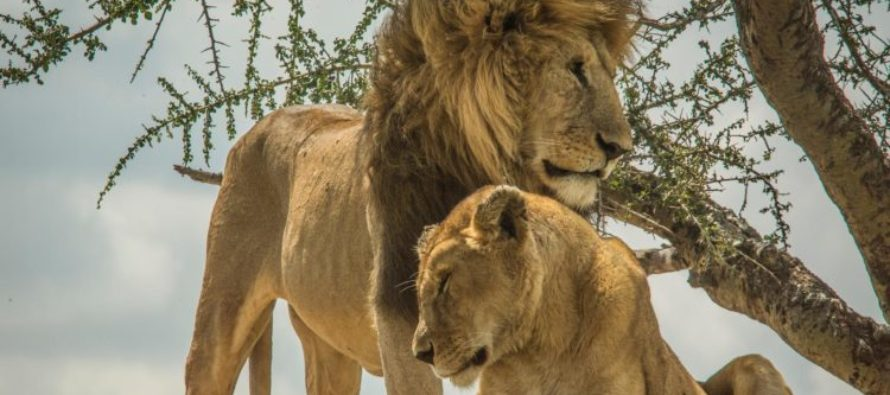 VIDEO: You're supposed to be king of the jungle! Two Lions Face Off With a Tiny Dog in Tanzania