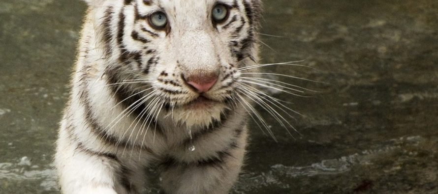 VIDEO: Sneaky White Tiger Creeps Up On A Visitor At A Zoo Before Launching A Lightning Attack…